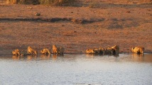 sunset lions