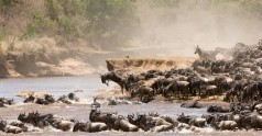 2048x0_great-migration-wildebeest-jumping-into-river