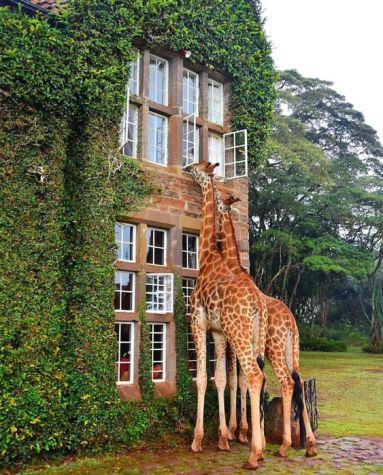 giraffe manor 2