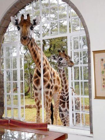 giraffe manor 3
