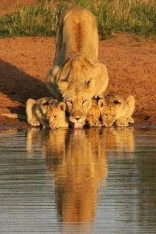 lion with cubs drinking water