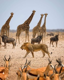 lions and antelope