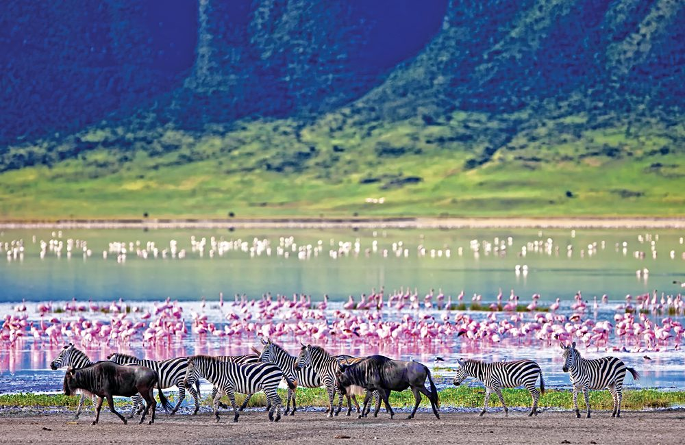 Zebras-and-Wildebeests-Walking-Beside-the-Lake-with-Flamingos-in-the-background-in-the-Ngorongoro-Crater-Tanzania_212602420-1000x650