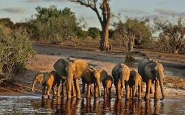 elephant botswana 2